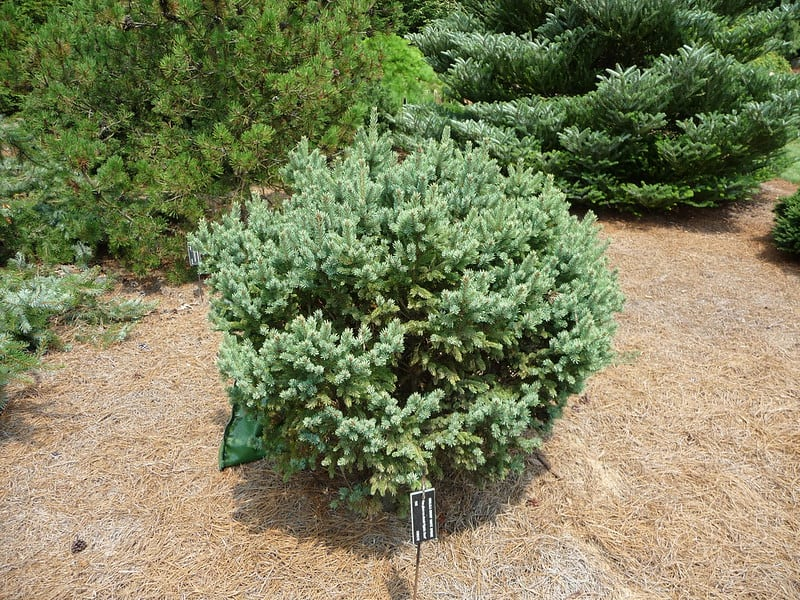 7 North Star Dwarf White Spruce
