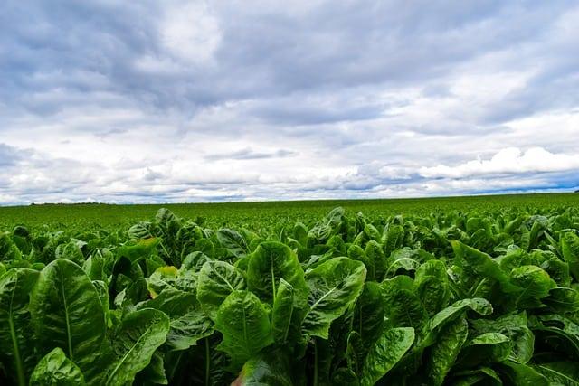 7 Romaine lettuce is low maintenance