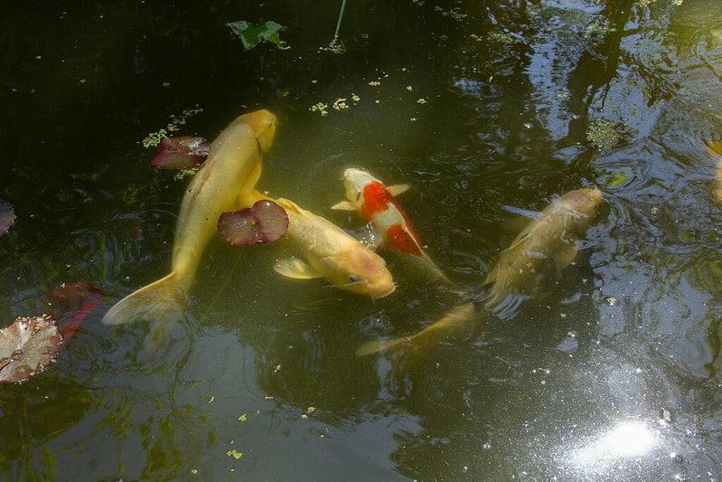 8 Koi Pond