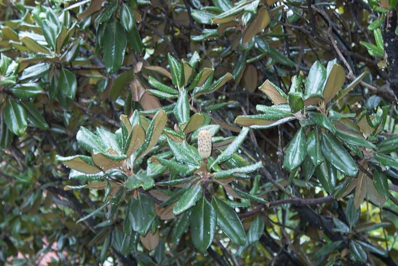 8 Little Gem Dwarf Southern Magnolia