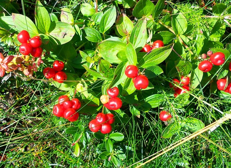 9 Lingonberry