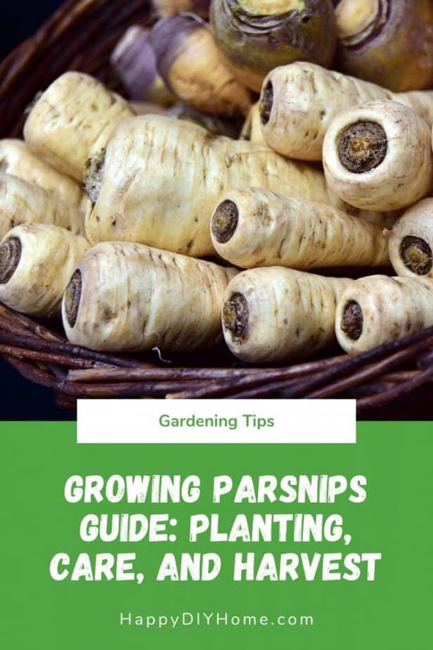 Growing Parsnips Guide