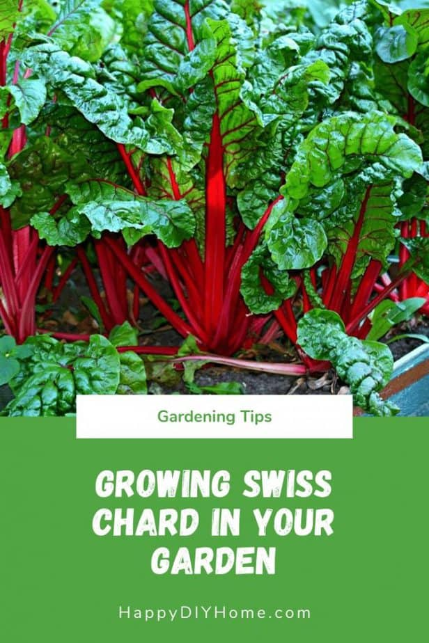 Growing Swiss Chard in Your Garden