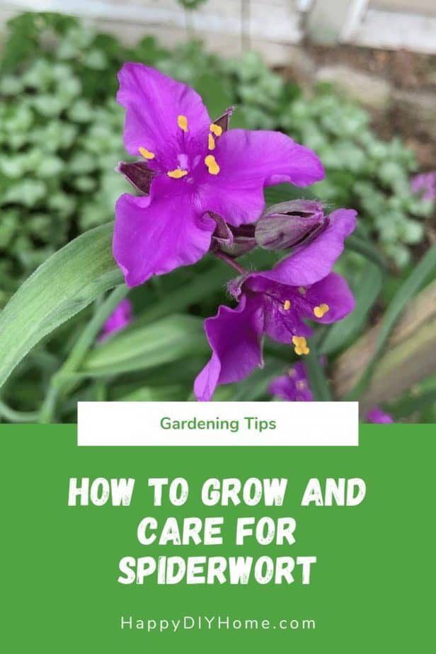 How to Grow and Care for Spiderwort