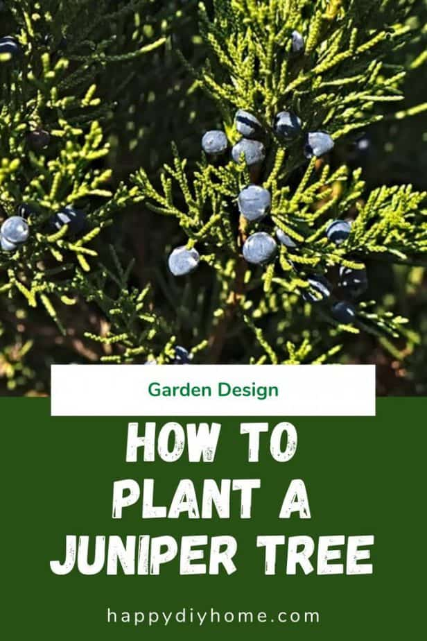 How to Plant a Juniper Tree 1