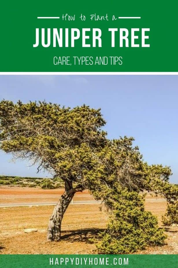 How to Plant a Juniper Tree 2