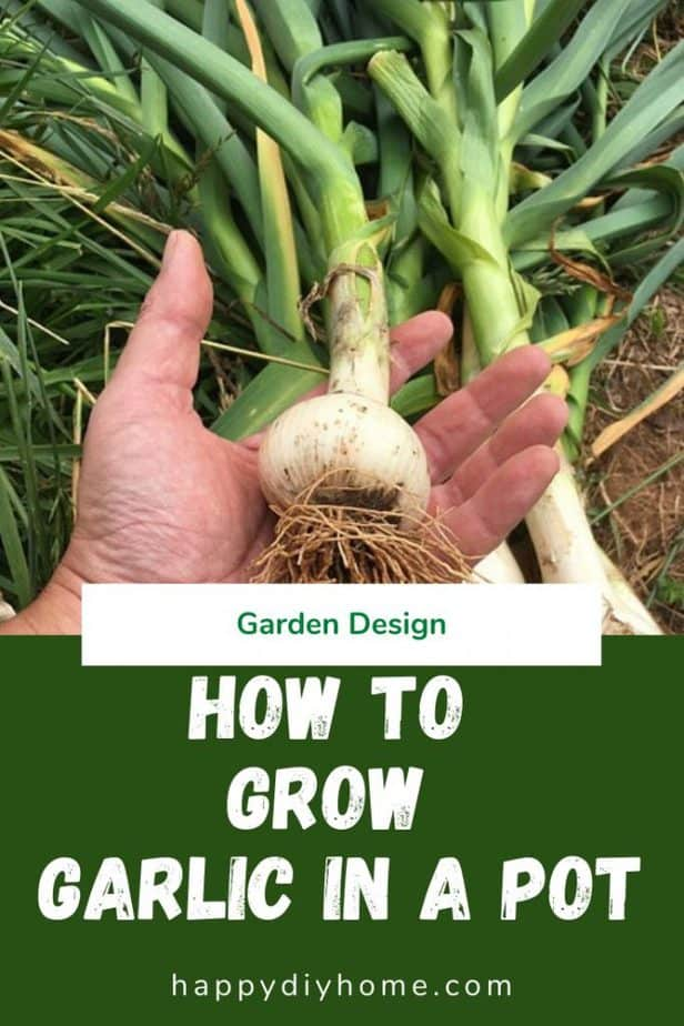 How to grow garlic in a pot 1