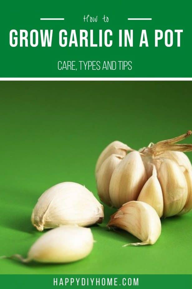 How to grow garlic in a pot 2