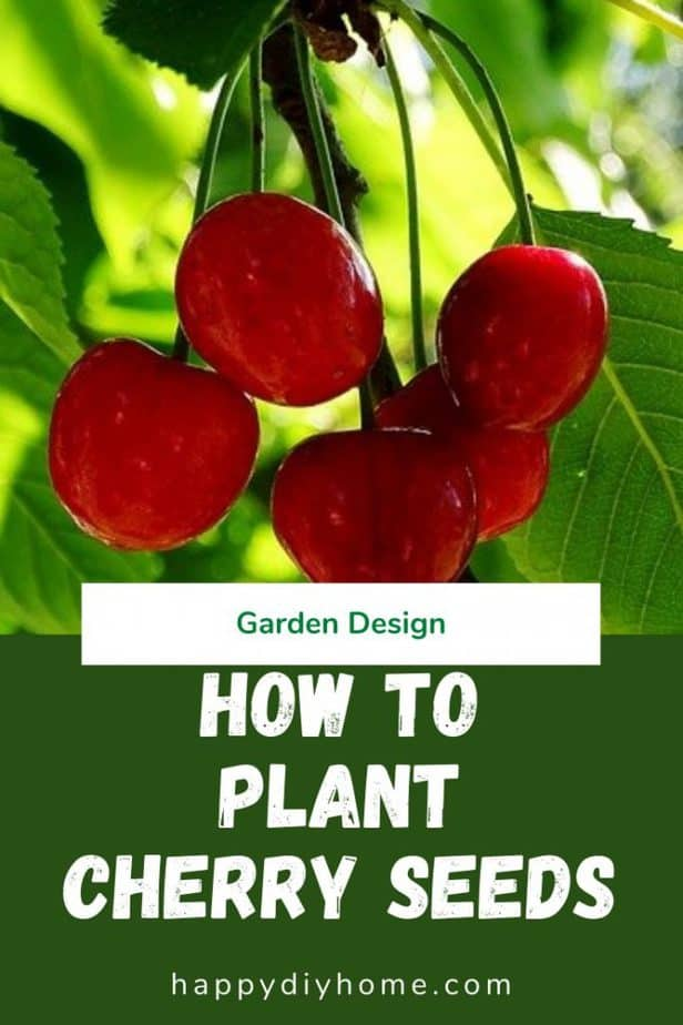 How to plant cherry seeds 1