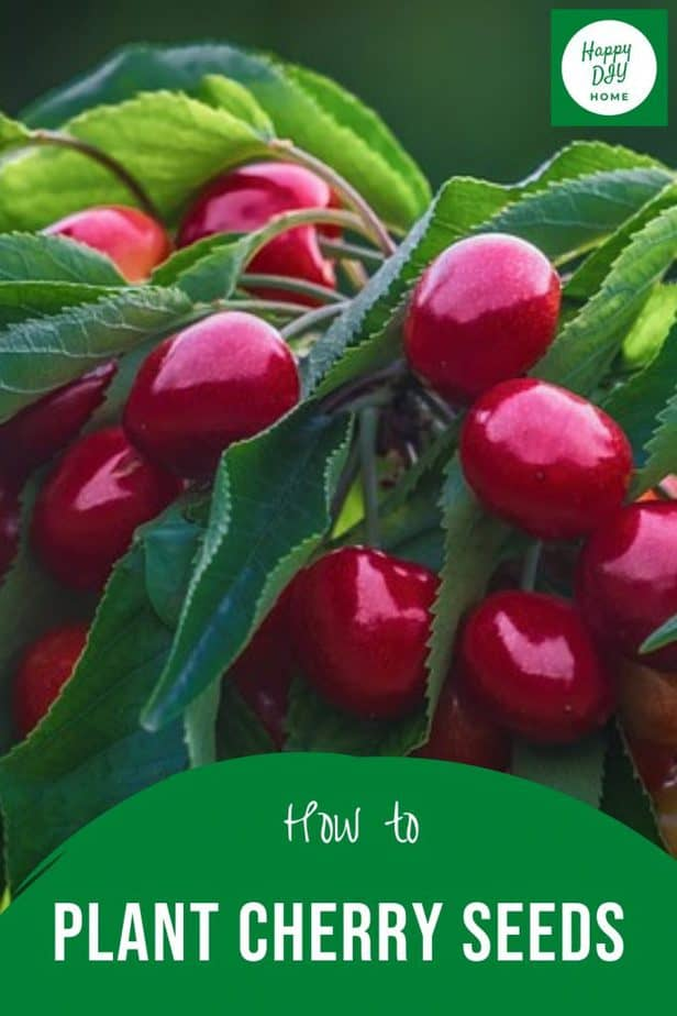 How to plant cherry seeds 2