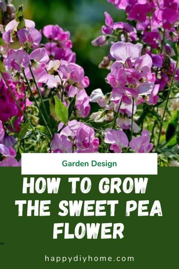 Sweet pea flower 1