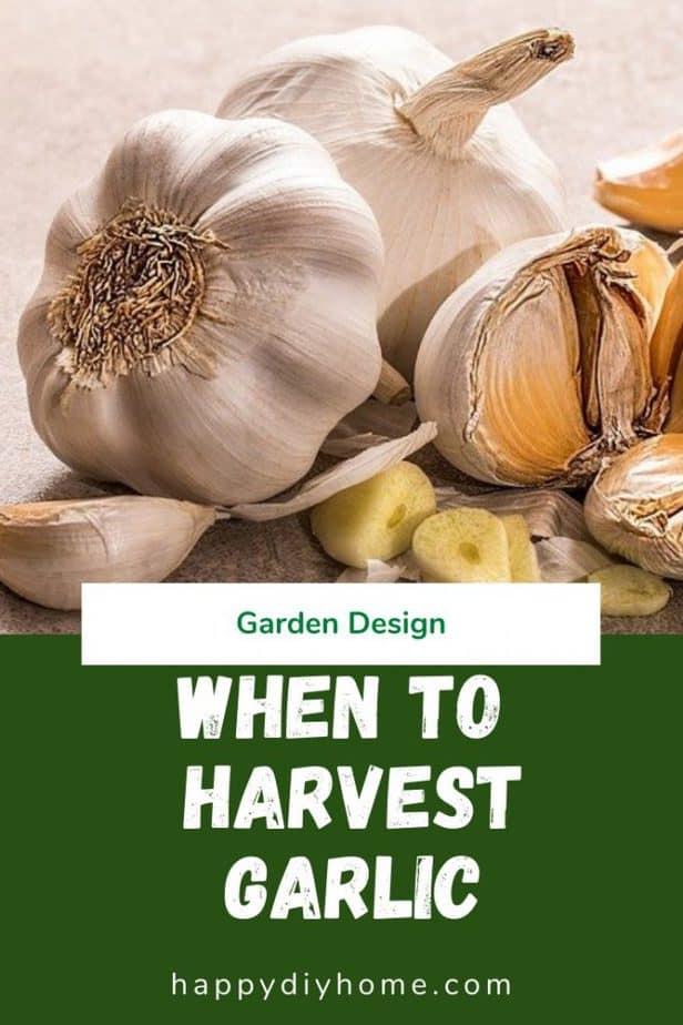 When to harvest garlic 1