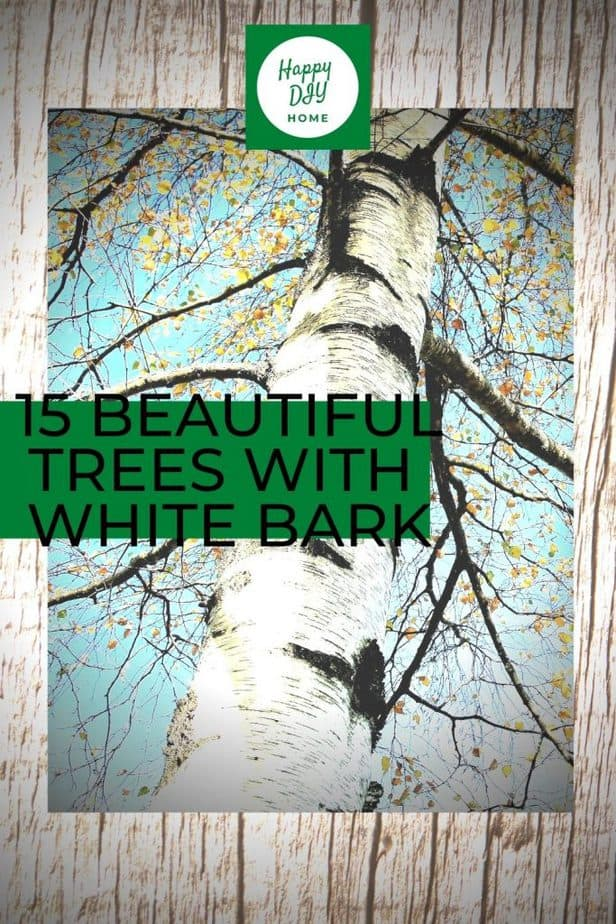 1 15 Beautiful Trees with White Bark