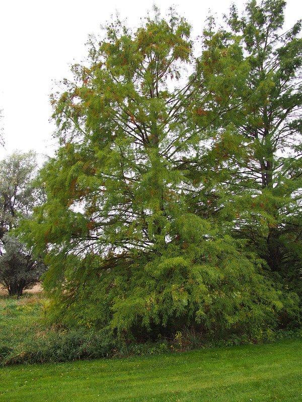 1 Bald Cypress