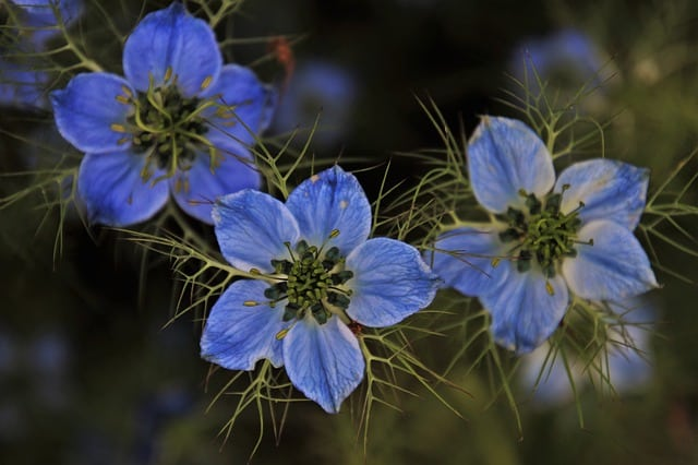 1 Blue Love in a Mist