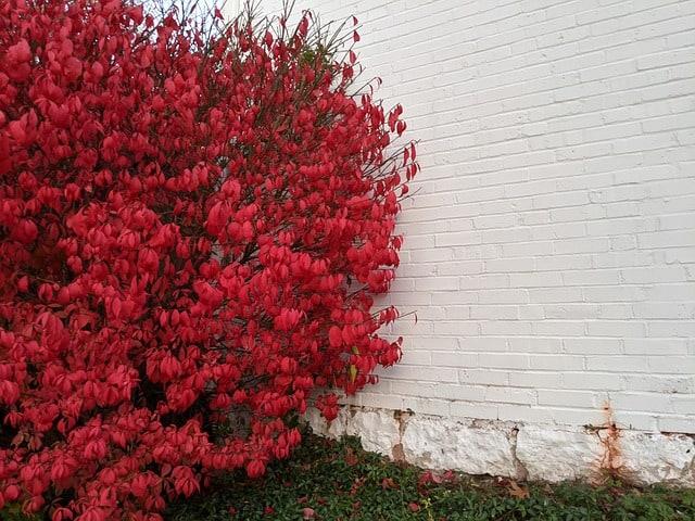 1 Burning bush is an attractive shrub