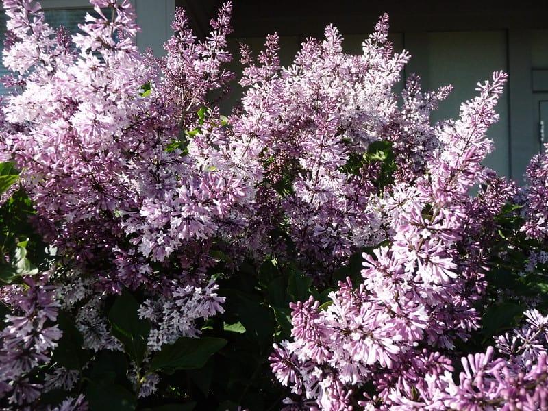 1 Dwarf Korean Lilac