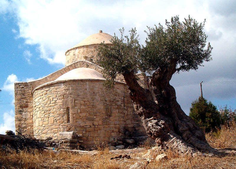1 Established Olive Tree