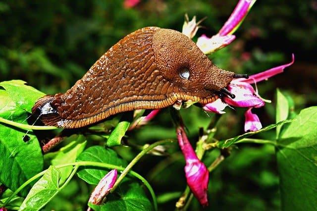 1 Slugs in garden are destructive