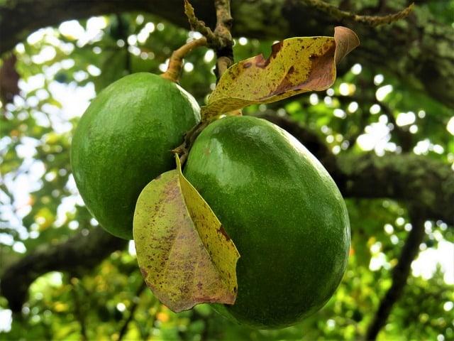 1 The attractive avocado tree