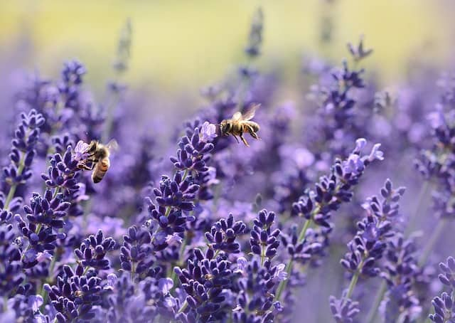 1. bees and lavender
