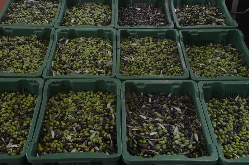 10 Frantoio Olives