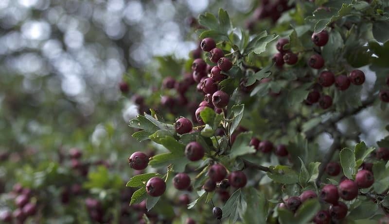 10 Hawthorn Trees