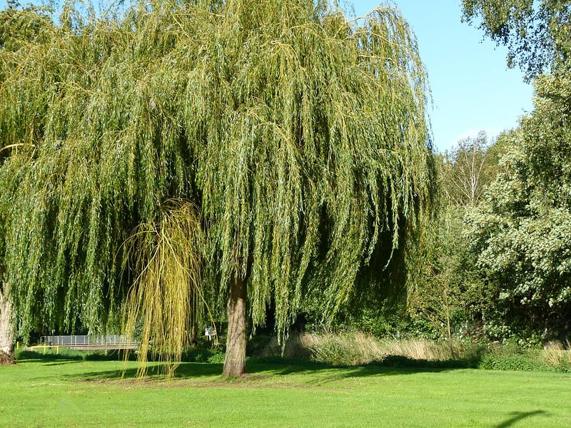 10 Weeping Willow