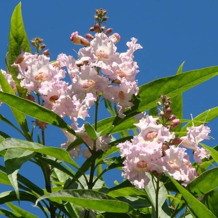 10. Chitalpa tree