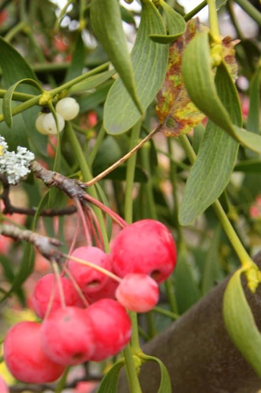 11 Red Berry Mistletoe