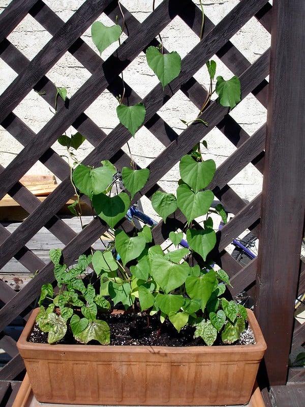 11 Trellis Planter