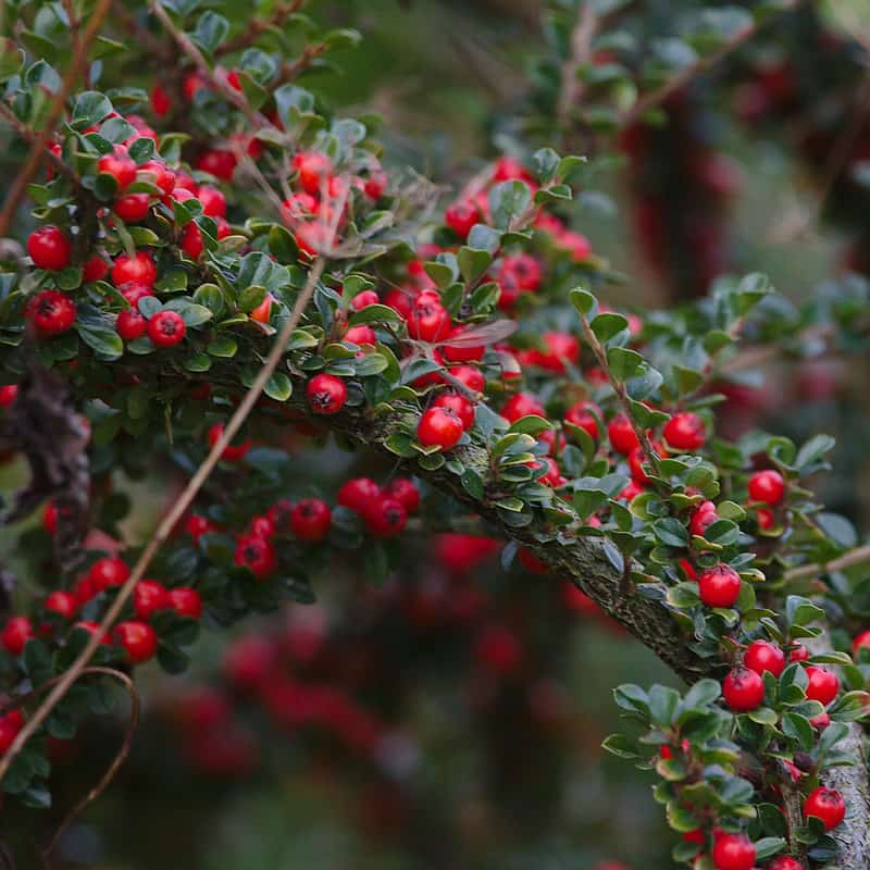 12 Cotoneaster