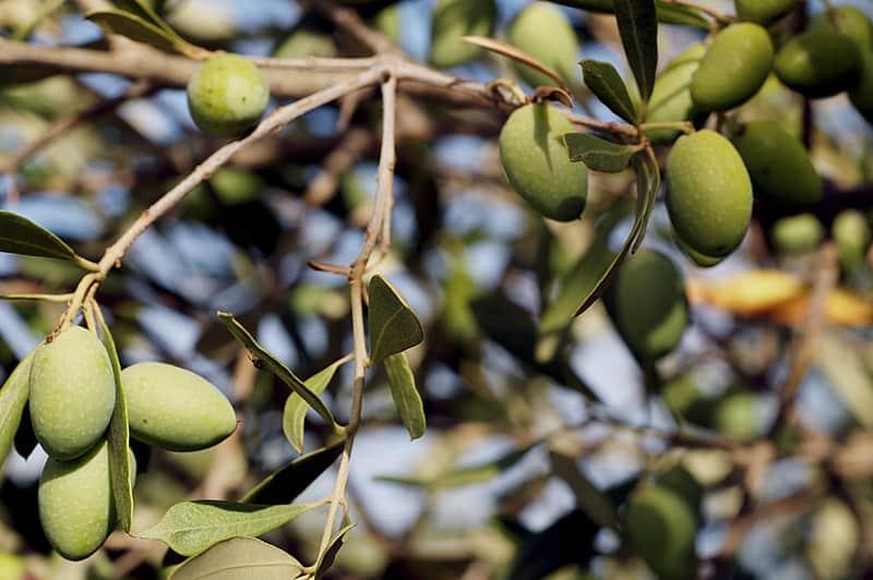 12 Picholine Olives