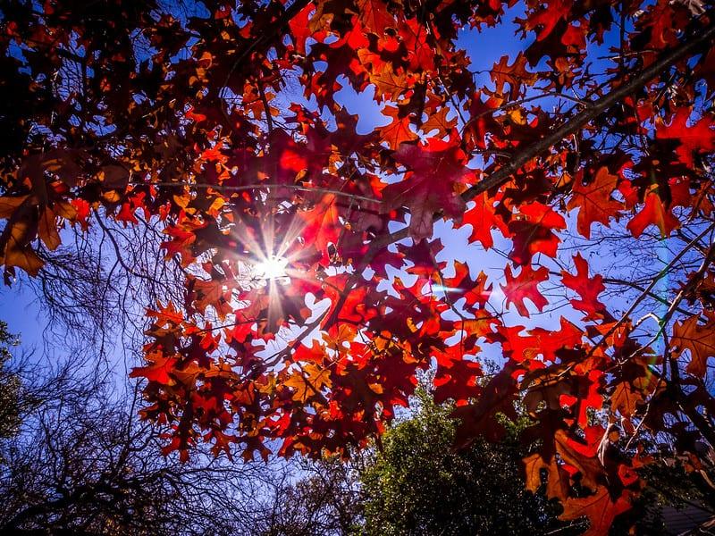 12 Texas Red Oak