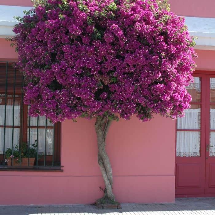 12. Pink bougainvillea tree