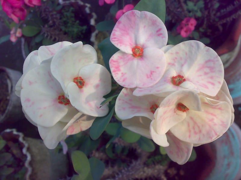 13 Euphorbia