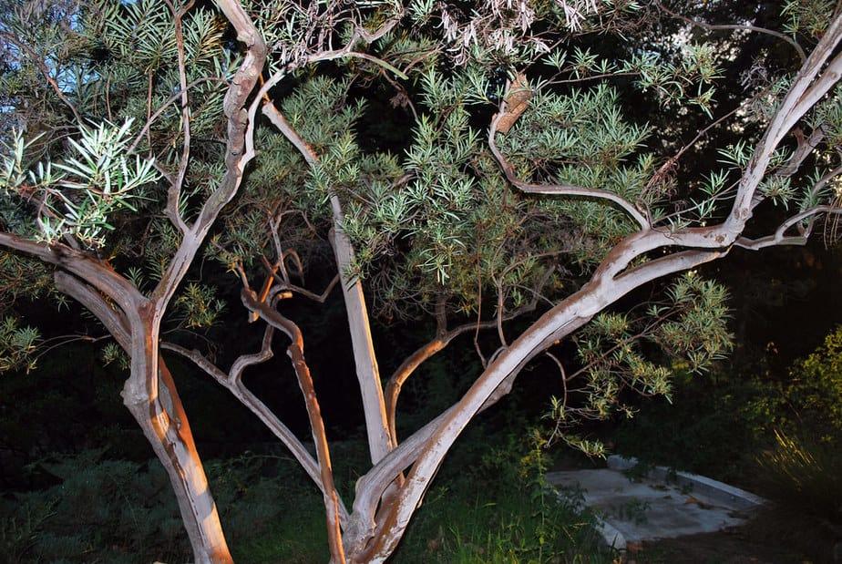 13. Chitalpa tree