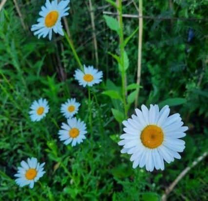 13. Daisy