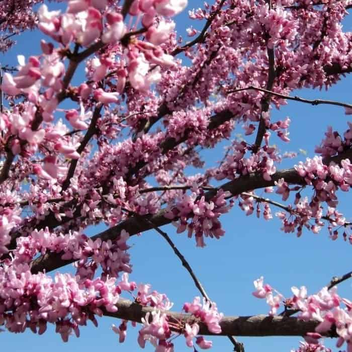 13. Redbud tree