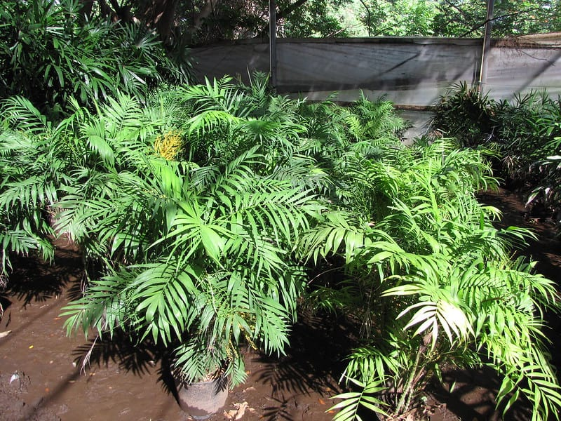 14 Parlor Palm