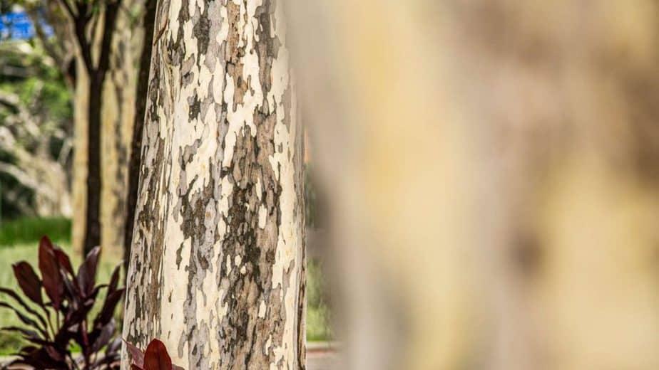 14. Brazilian Ironwood tree