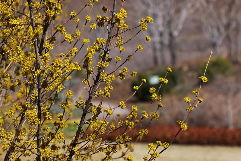 15 Cornelian Cherry Dogwood