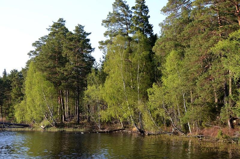 15 River Birch