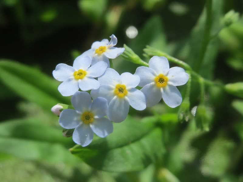 15 Water Forget Me Not