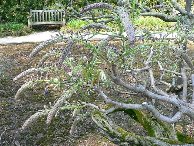 15. Japanese Wisteria tree