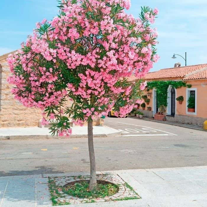 15. Pink oleander tree