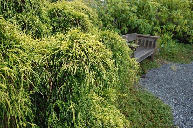 16 Goldenthread Cypress
