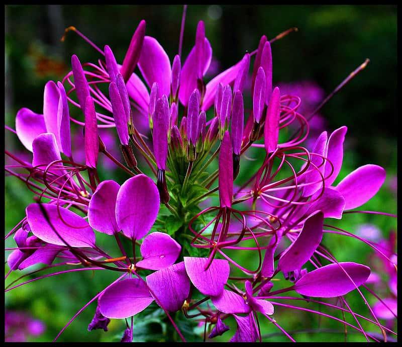 16 Spider Flower