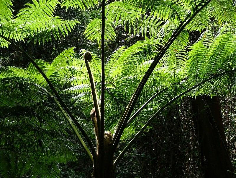 16 Tree Fern