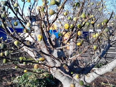 16. Common Fig tree